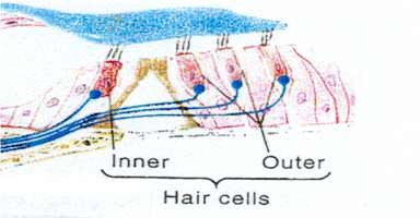 Cross-sectional schematic view of the single row of inner hair cells and the three rows of outer hair cells within the organ of Corti in the cochlea of the human ear.